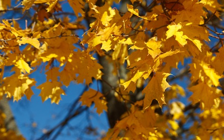 Golden Leaves - gold, leaves, autumn, fall, tree, yellow, leaf