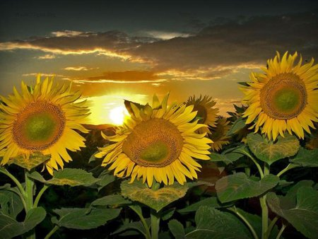 sunflower sunrise flowers amp nature background wallpapers