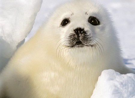 Baby Harp Seal - fuzzy, seal, cute, snow