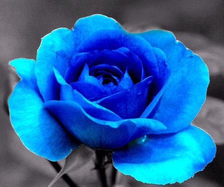 BLUE ROSE - Flowers & Nature Background Wallpapers on ...