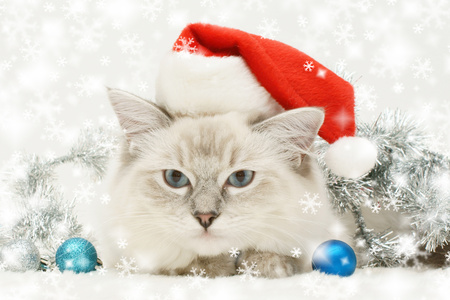 Christmas Cat - animals, balls, beautiful, blue, adorable, face, pretty, beauty, xmas, magic, magic christmas, eyes, red, holiday, happy new year, new year, colorful, paws, cats, colors, cute, silver, merry christmas, cat face, christmas, ball, photography, kitten, cat, christmas cat, kitty, sweet
