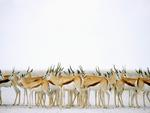 Herd-of-springbucks--Gazella