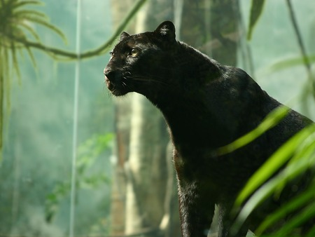 BLACK PANTHER - panther, cat, black