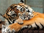 Mother and Baby Tiger
