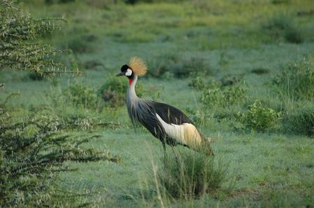 Crowned Crane - crane, crowned crane, pretty, bird