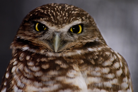 the owl - owl, nature, animals, birb