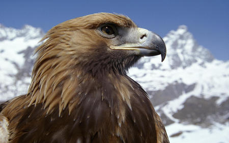 eagle - nature, animals, bird, eagle