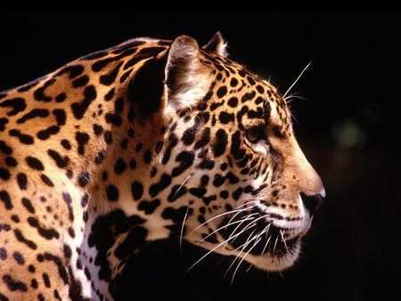 Leopard  Black Backround - cat of prey, leopard, cat