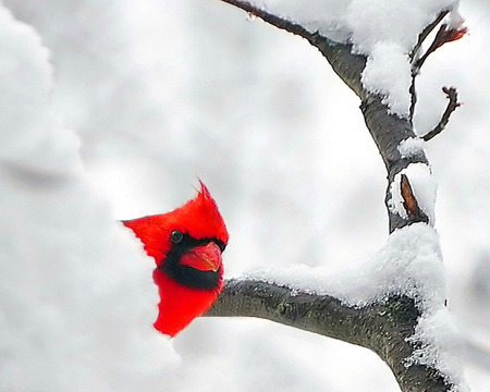 Peeking out - snow, red, tree, cardinal, winter, branches
