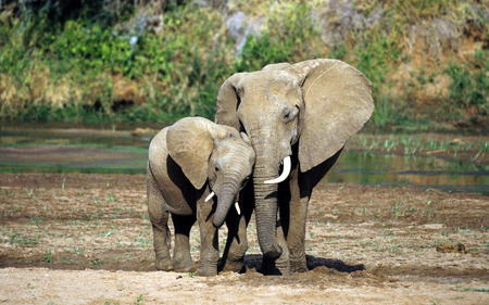 elephants love - daughter elephant, africa, beautiful, river, mom elephant