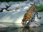 Thirsty Tiger