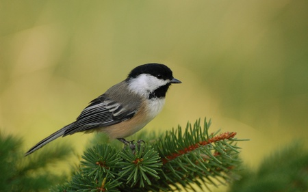 Chickadee Perch - chickadee, animals, chickadee perch, beautiful, black-capped chickadee, birds