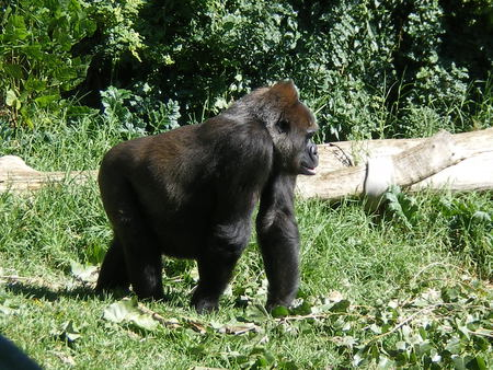 Gorilla - big, black, hairy, gorilla