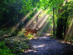 Deer in Forest