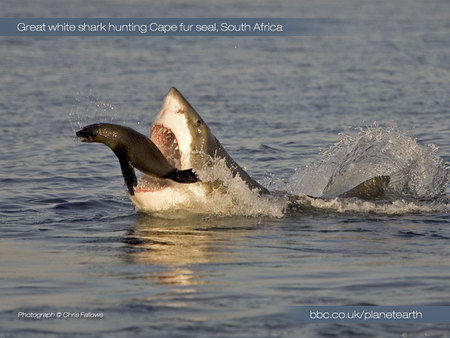 Seal For Dinner - great white, shark, artic, ocean, seal
