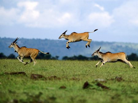 Antelopes - nature, animals, antelopes