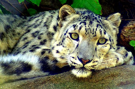 Nice Snow Leopard - big cat, snow leopard, animal, cats
