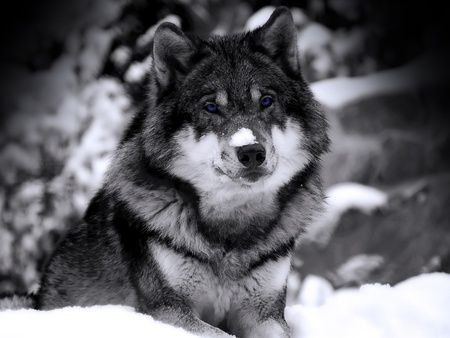 BLUE EYED WOLF - blue, eyes, wolf, snow