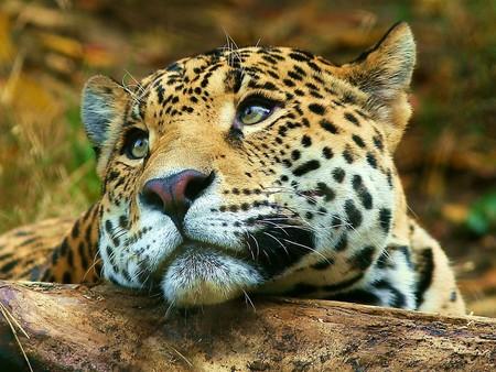 Endangered Leopard Found Living in Moscow Apartment Building