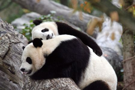 I Love You Mommy - animals, mommy, bears, panda bears, cub, panda bear, mother love, love, panda