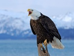 Bawler Eagle