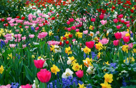 Field Of Flowers - scenery, flowers, daffodil, reflection, blue, rocks, pretty, yellow, purple, tulip, peak, field of flowers, green, mounts, trees, other, clouds, flowers field, hills, lake, spring, beautiful, pink, view, beauty, landscape, stoes, white, photo, grass, mountains, red, scene, colorful, field, sky, colors, lovely, tulips, branches, leaves, photography, daffodils, nature