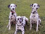 Dalmatians on grass