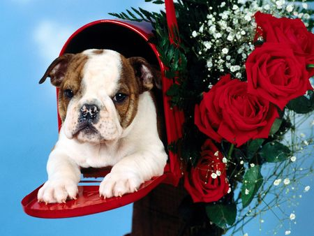 Untitled Wallpaper - kierra, valentine, roses, mailbox, bulldog, puppy
