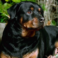 Young Champ Rottweiler