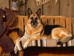 Country Canine - German Shepherd