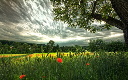 Poppies Field - grass, spikeletes, photography, piece, peaceful, tree, red, poppy, poppies, landscape, flowers, storm, sky, colors, splendor, wheat, nature, trees, beauty, beautiful, lovely, clouds, field, green, view, leaves