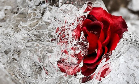 Frozen rose photography abstract background wallpapers on desktop nexus image 604394 - Beautiful frozen computer wallpaper ...