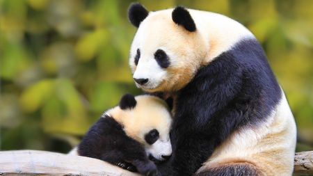 Panda Love - baby, black, white, love, panda, bears