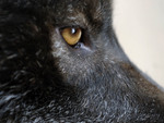Eye of the Black Wolf