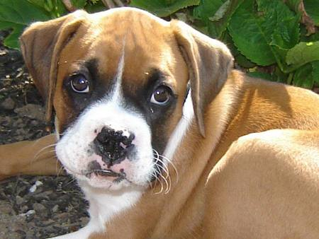 Cute Boxer Puppies Wallpaper Very Cute Boxer Puppy ...