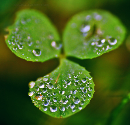Irish Shamrock - rain, green, st patricks day, plant, shamrock, ireland