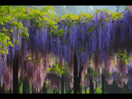 glicinija - flowers, amazing, spring, purple, pink, wisteria
