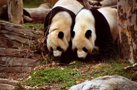 Pair of Pandas - couple, black, pair, white, panda, bears