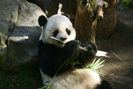 Panda - zoo, black, white, cute, panda, bamboo