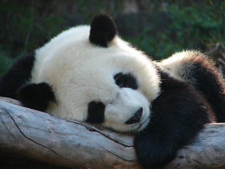 Sleeping Beauty - giant panda, baby, sleeping, beauty
