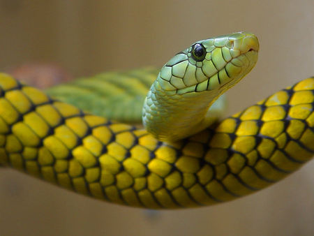 Green And Yellow Snake - snake, snakes, reptile, nature