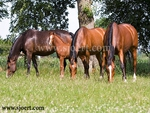 4 Dutch Warmblood Mares