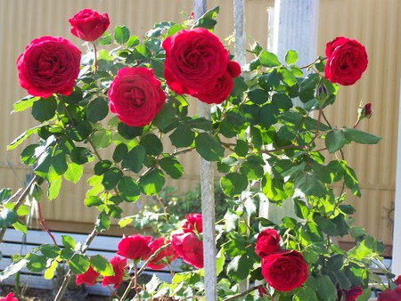 beautiful red roses  flowers  nature background wallpapers on, Beautiful flower