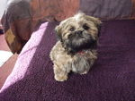 "My Shih Tzu ""Angel"""