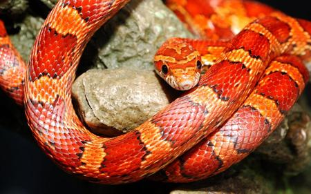 Snake - python, animals, snake, reptiles, red