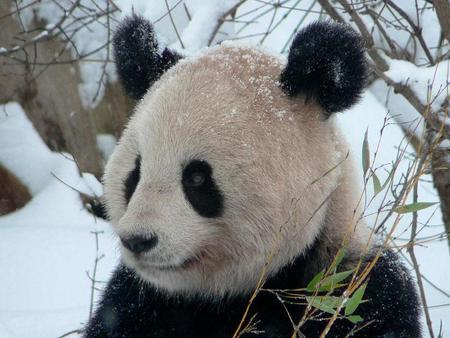 Baby Panda In Snow Wallpaper