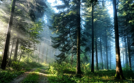 PINE FOREST PATH - morning, beautiful, road, pathway, pine, path, sunlight, dark, light, foggy, forest, nature, shine, blue sky
