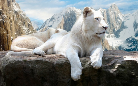 white lion - king, lion, awesome, cat, white