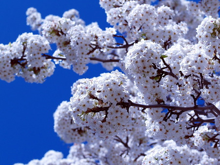 Spring is here - spring, beautiful spring, sky, blue, tree, beauty, flower, blossom, white