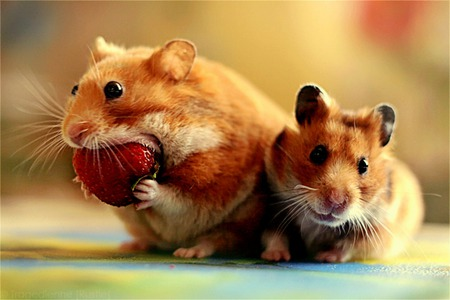 Snack Time - funny, eating, strawberry, snack, comical, hamsters, food